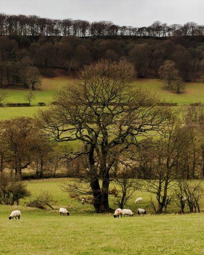 An oak tree on the Jane Eyre Trail